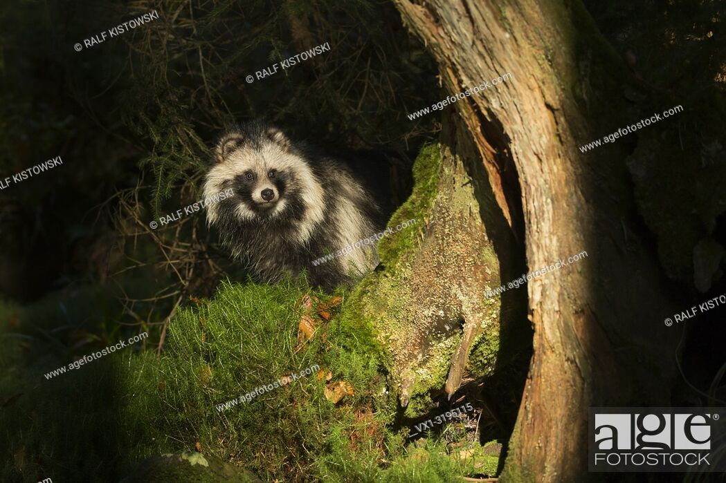 Stock Photo: Raccoon dog (Nyctereutes procyonoides) in natural spotlight, living secretly in a dark forest. . .