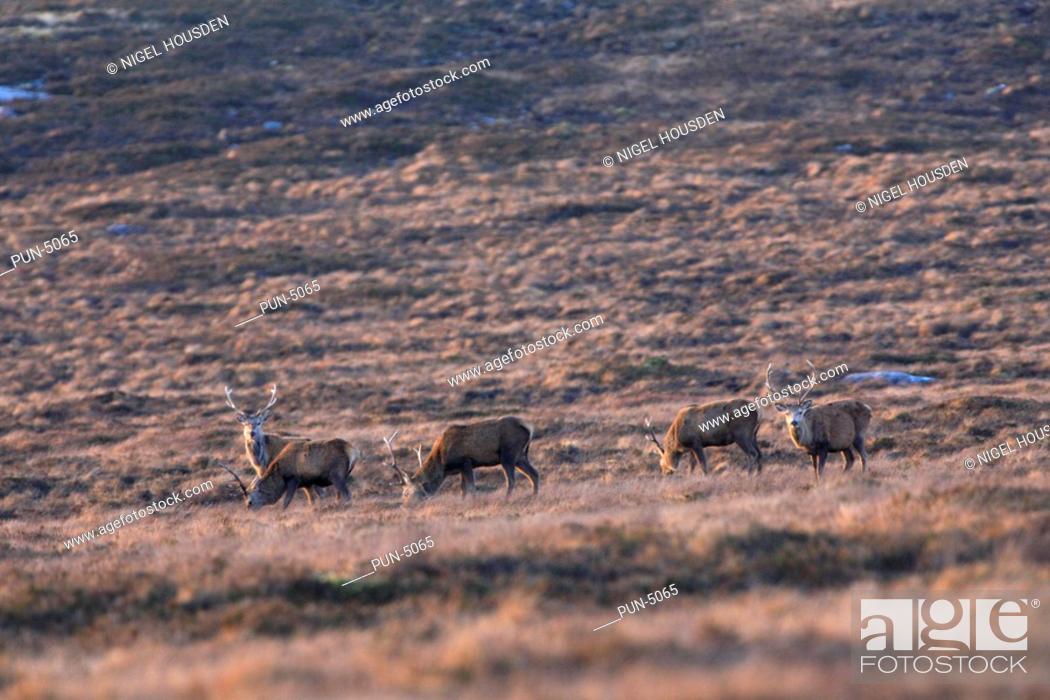 Stock Photo: Fedding red stags Cervus elaphus in heather near Lochinver.
