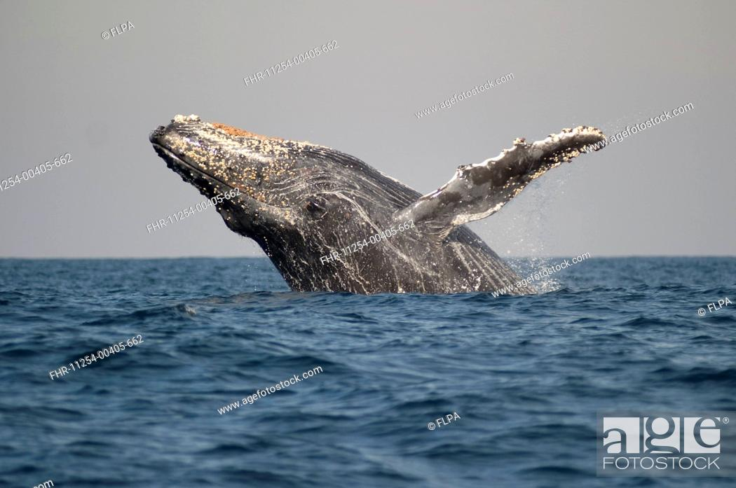 Stock Photo: Humpback Whale Megaptera novaeangliae adult, breaching at surface of sea, offshore Port St Johns, Wild Coast, Eastern Cape Transkei, South Africa.