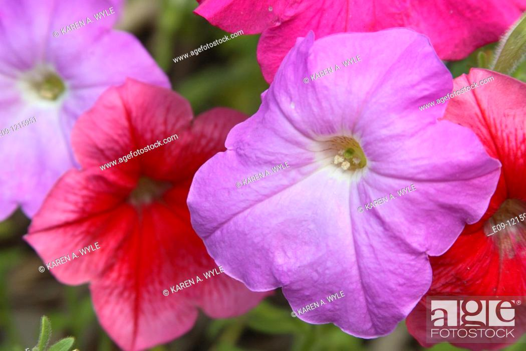 Stock Photo: red and purple flowers, possibly impatiens, anthers showing on purple flower.