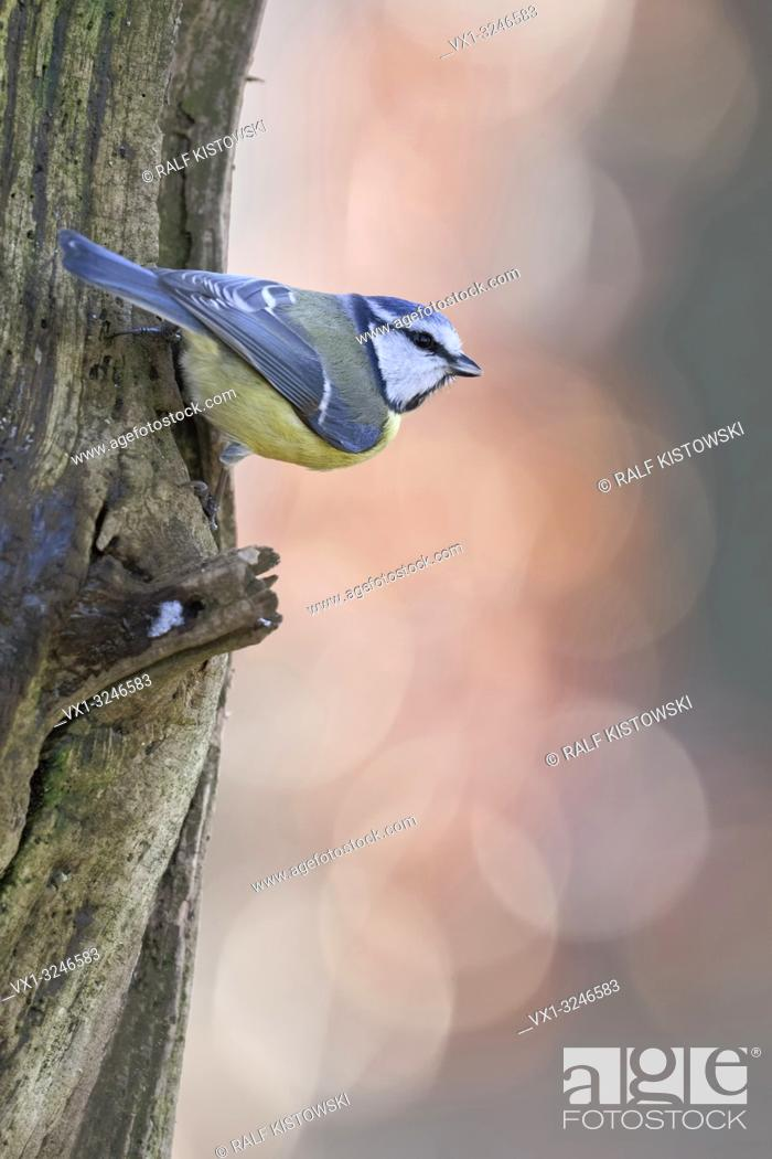 Imagen: Bluetit / Blaumeise ( Cyanistes caeruleus ), perched at a tree trunk, watching around attentively, backside view, wildlife, Europe.