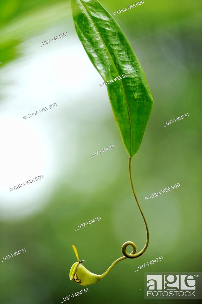 Stock Photo: Nepenthes pitcher plant. Semengoh Wildlife Centre, Kuching, Sarawak, Malaysia.