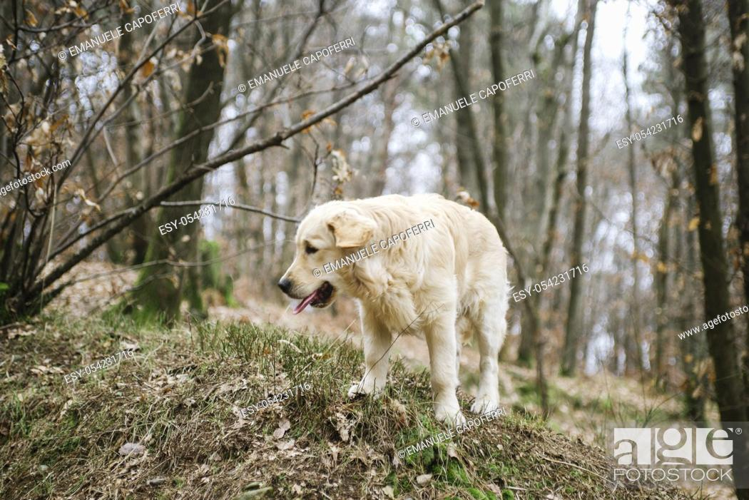 Stock Photo: golden rtriever puppy dog in the forest.