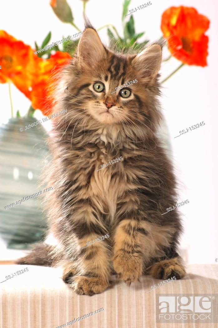 Stock Photo - Maine Coon cat - kitten sitting in front of flowers