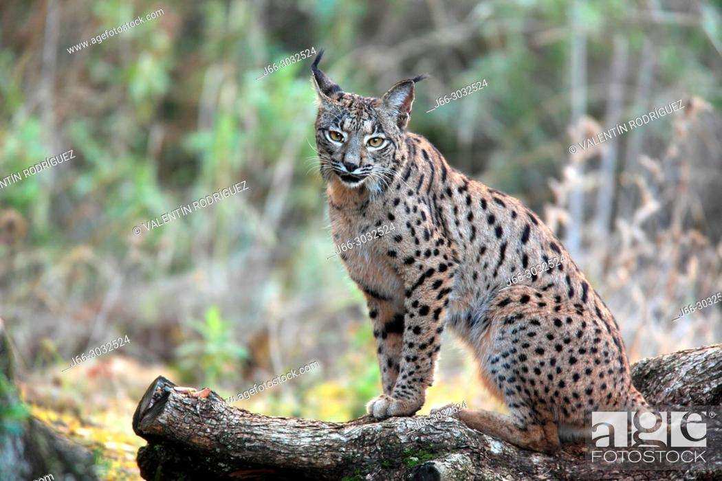 Stock Photo: Iberian lynx (Lynx pardinus) in Sierra Morena. Andalucía.