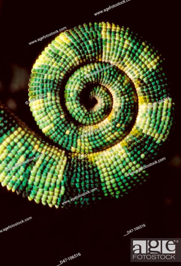 Stock Photo: Chameleon, tail.