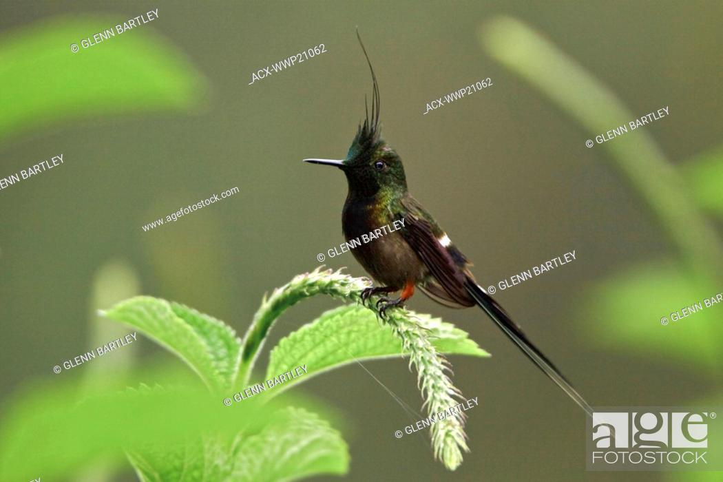 Stock Photo: Wire-crested Thorntail Popelairia popelairii perched on a flower near Podocarpus National Park in southeast Ecuador.