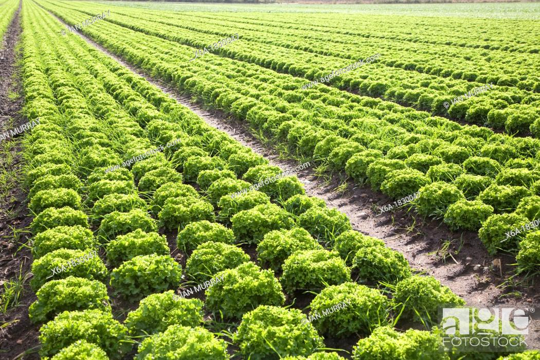 Stock Photo: Rows lettuce salad crop growing in field, Hollesley, Suffolk, England.