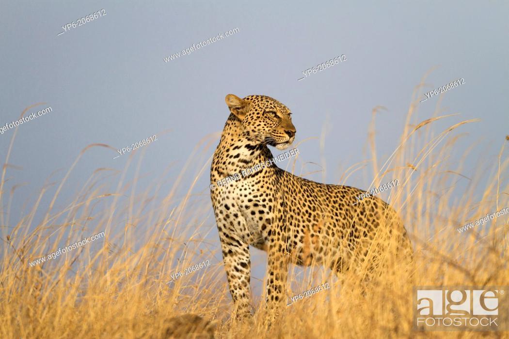 Stock Photo: Leopard (Panthera pardus) in savannah, Samburu National Reserve, Kenya.