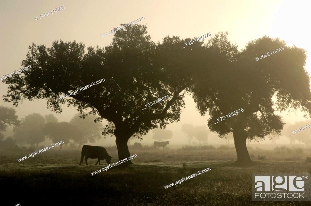 Stock Photo: Dehesa of Campo Arañuelo, Navalmoral de la Mata, Caceres, Spain,.