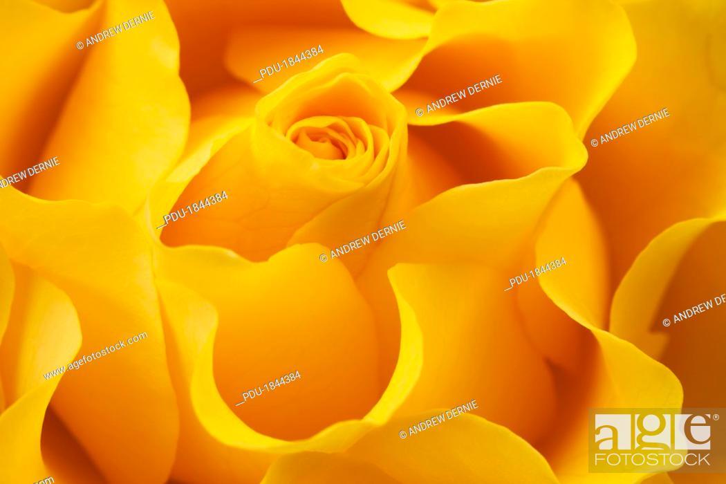Stock Photo: Full frame yellow rose.