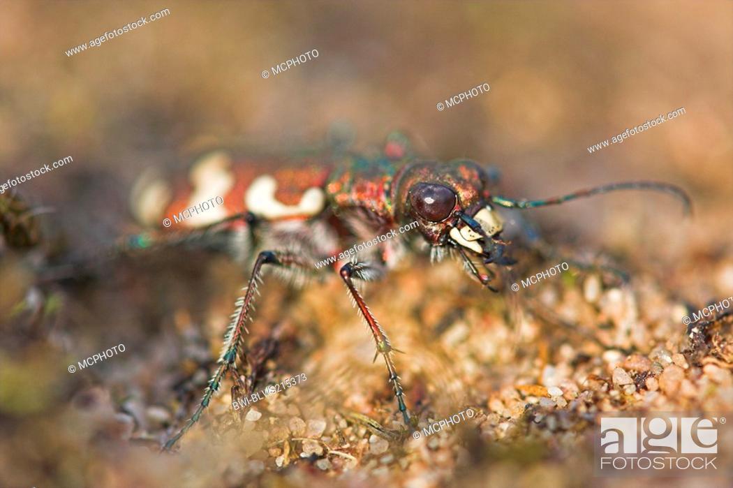 Stock Photo: dune tiger beetle Cicindela hybrida, portrait, Germany, Hesse, Viernheimer Heide.