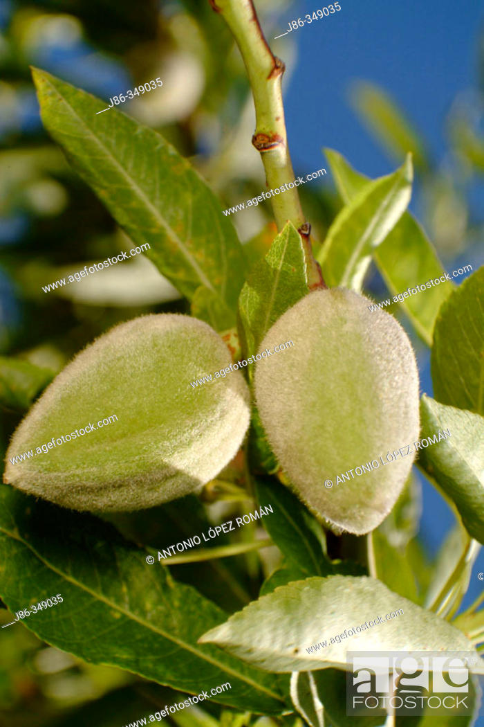 Stock Photo: Sweet Almonds (Prunus amygdalus).