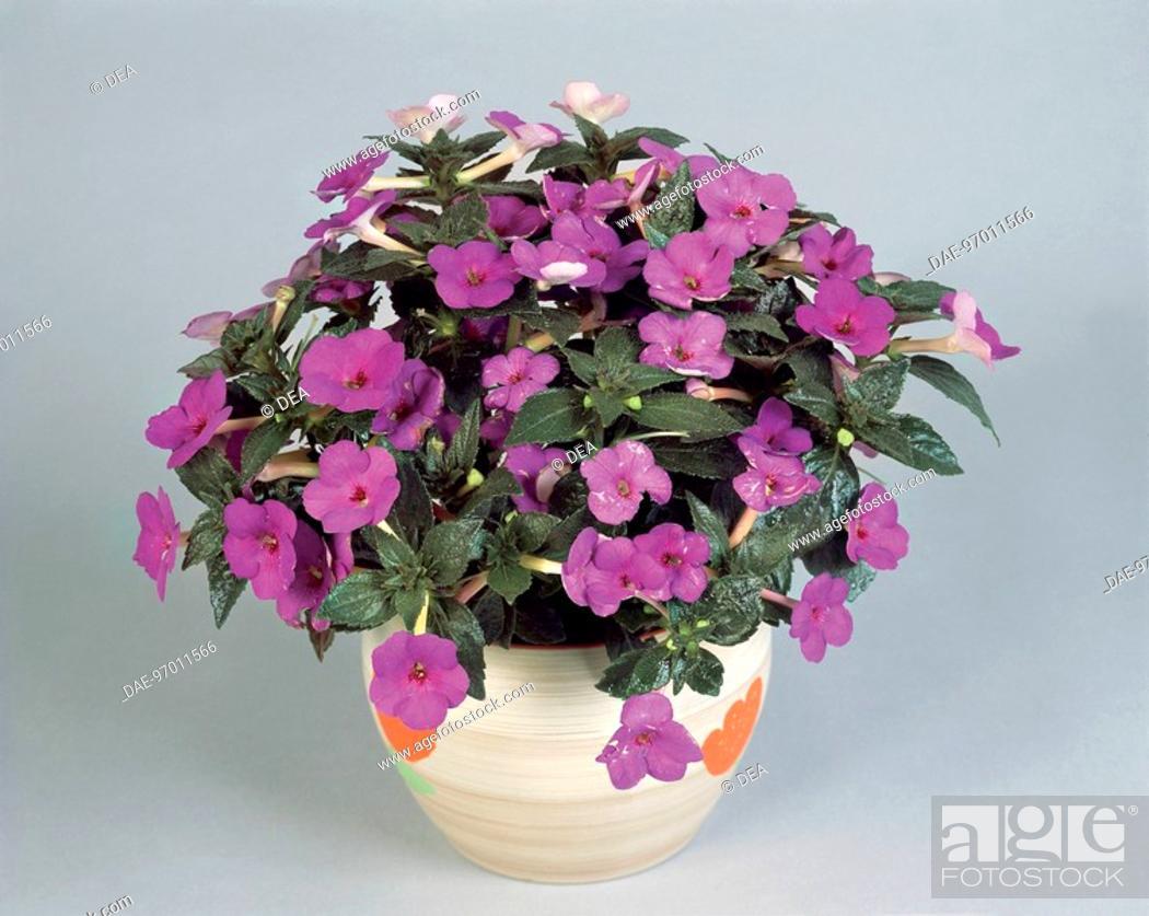 Stock Photo: Houseplants - Gesneriaceae. Magic flower (Achimenes 'Paul Arnold').