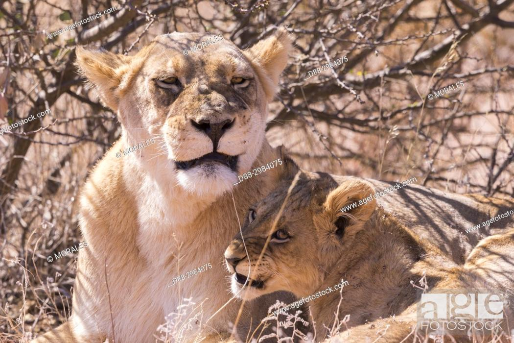 Stock Photo: Africa, Southern Africa, South African Republic, Kalahari Desert, lionesses and cubs resting in the savannah (Panthera leo).