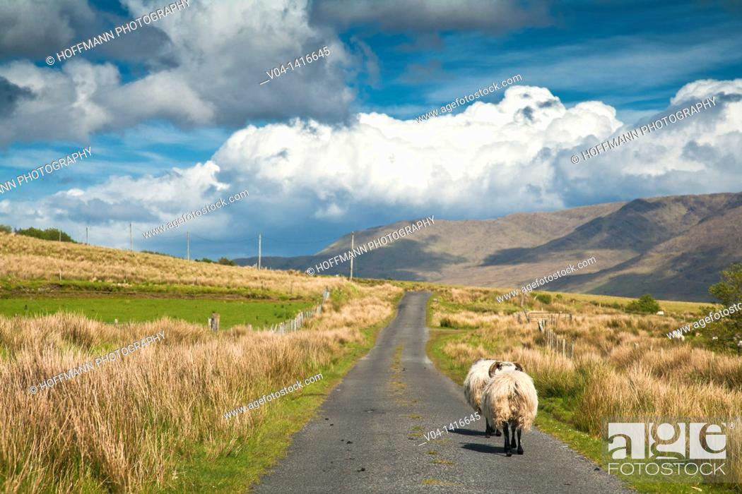 Stock Photo: Sheep walking on a narrow road, Connemara, County Mayo, Ireland, Europe.