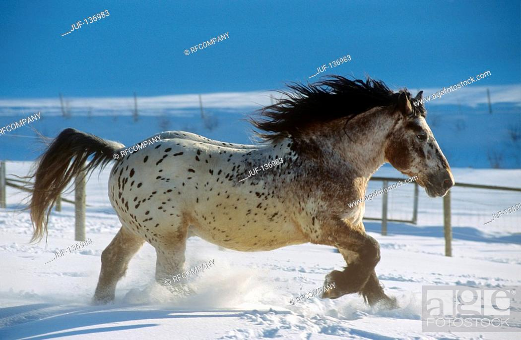 Stock Photo: Noriker horse - walking in snow.