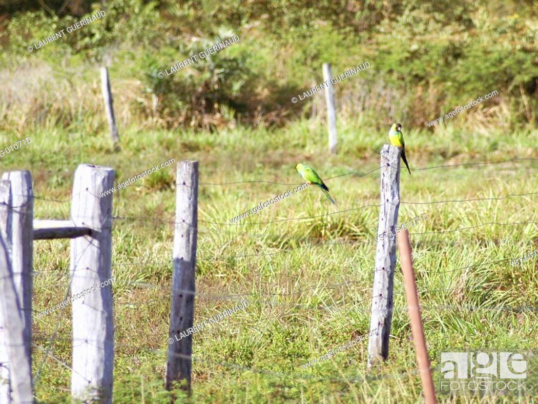 Imagen: Prince-black, Nanday Conure, Nandayus nanday, Pantanal, Mato Grosso do Sul, Brazil.
