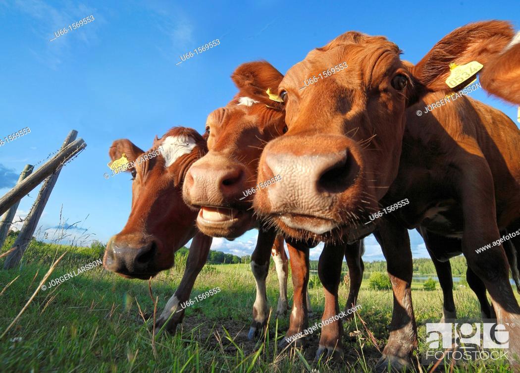 Stock Photo: Cows Gnesta Södermanland Sweden.