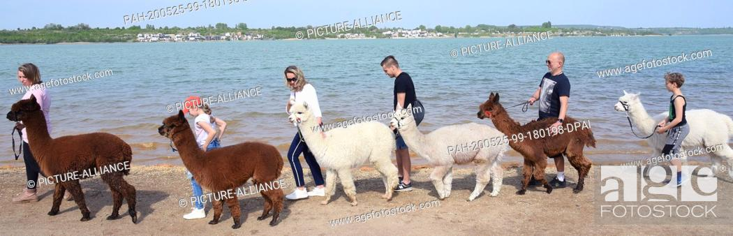 Stock Photo: 09 May 2020, Saxony, Kahnsdorf: A first hike this year with the alpacas of Diana Gröhmann (l) from the Alpaca-Shop Leipziger Land can be enjoyed by a family.