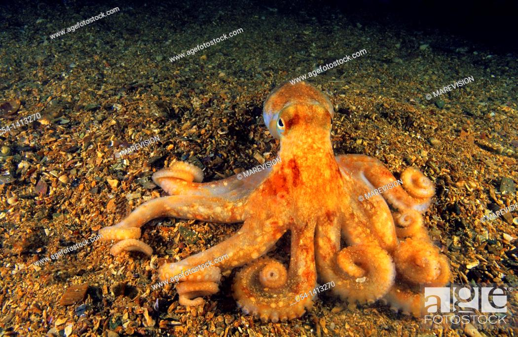 Stock Photo: Spider octopus or Long-armed octopus (Octopus salutii), Eastern Atlantic, Galicia, Spain.