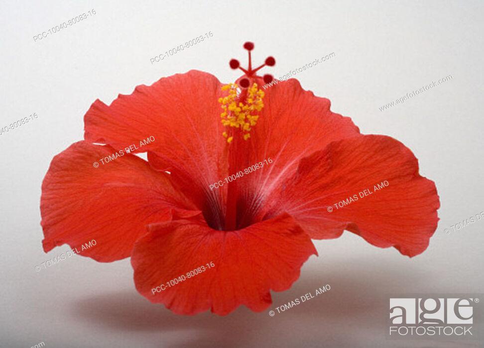 Stock Photo: Studio shot of red hibiscus on white background.