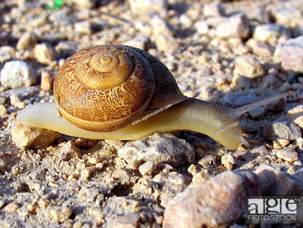 Stock Photo: Garden snail. Spain. Villena. Alicante. Valencia. Europe.