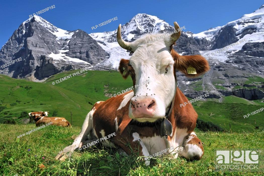 Stock Photo: The Eiger mountain and Alpine cow Bos taurus with cowbell resting in pasture, Swiss Alps, Switzerland.