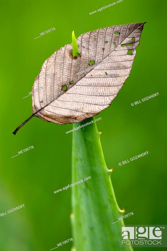 Stock Photo: Leaf pierced by spiny-edged plant - Sachatamia Rainforest Reserve - Mindo, Ecuador.