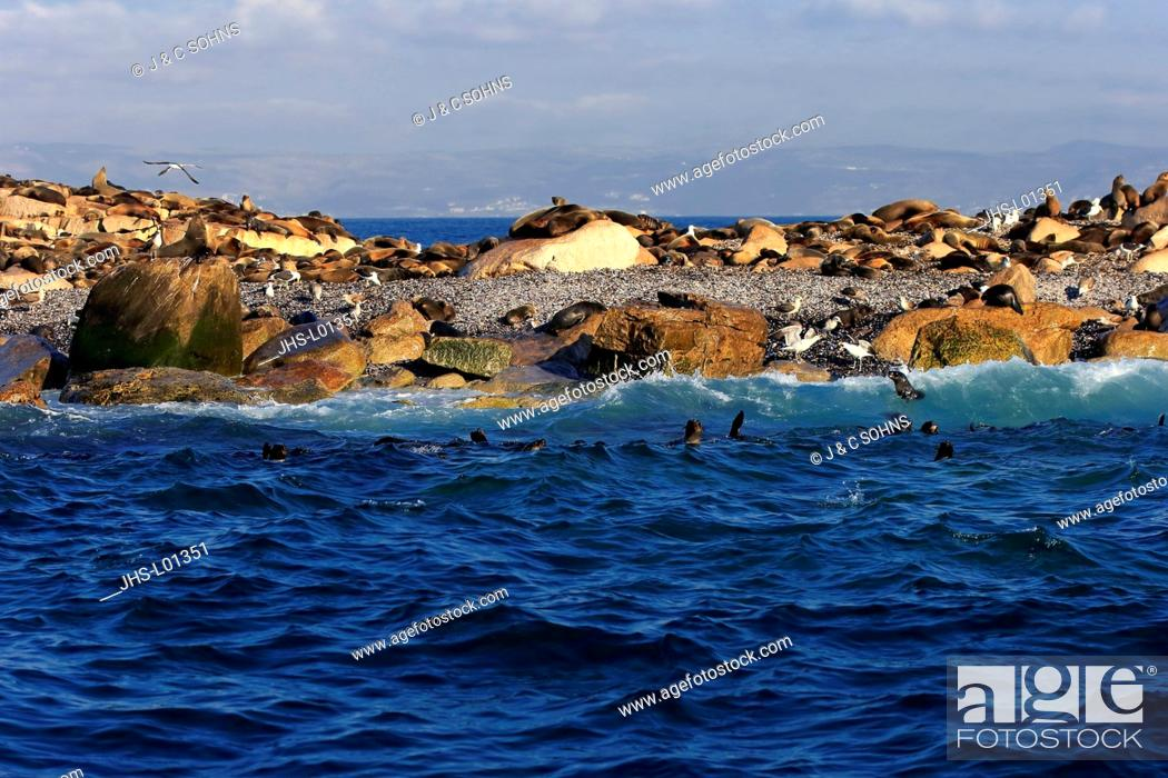 Stock Photo: Seal Island, Seal Colony, Western Cape, South Africa, Africa.