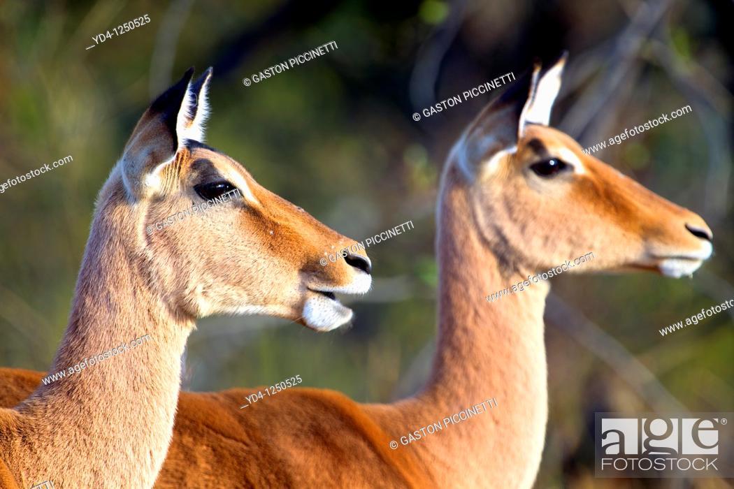 Stock Photo: Impalas Aepyceros melampus - Females, Kruger National Park, South Africa.
