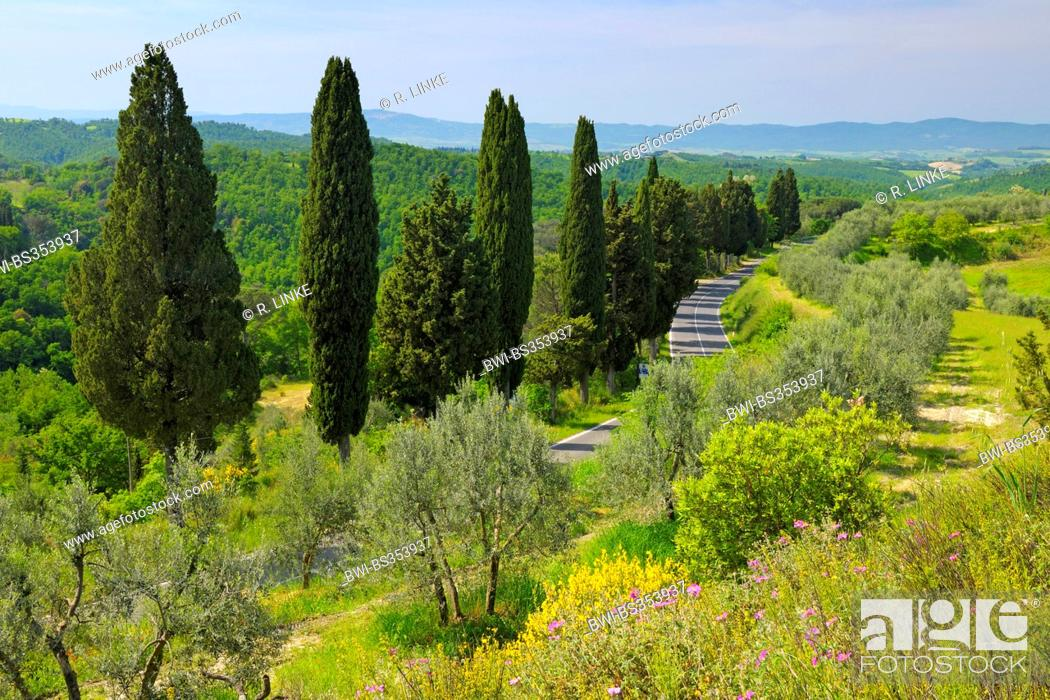 Stock Photo: Italian cypress (Cupressus sempervirens), country road lined by cypress trees through forest and meadow landscape, Italy, Tuscany, Siena.