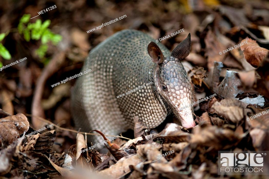 "Stock Photo: """"""""""Nine-banded armadillo"""" (Dasypus novemcinctus), Armadillos have sticky and very long, tongue to gulp up bugs in a sudden."