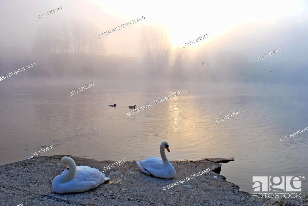 Stock Photo: Swans, winter landscape, Adda River, Lombardy, Italy.