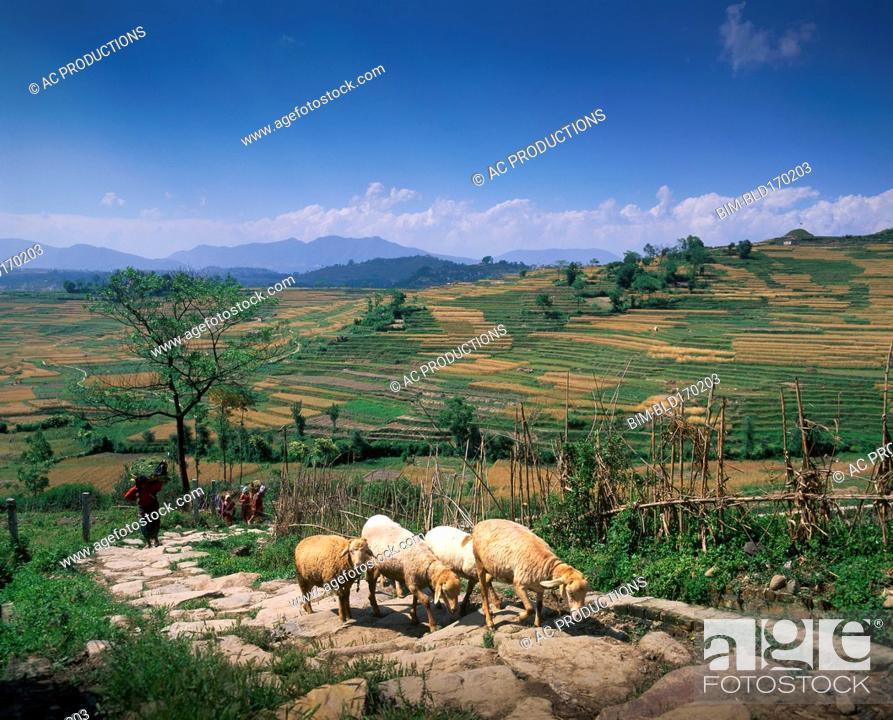 Imagen: Flock of sheep walking on remote road.