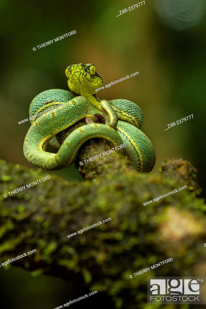 Stock Photo: Bothriopsis bilineata. New born green pit viper on a tree. Venomous Snake (solenoglyphous) mostly nocturnal. French Guiana.