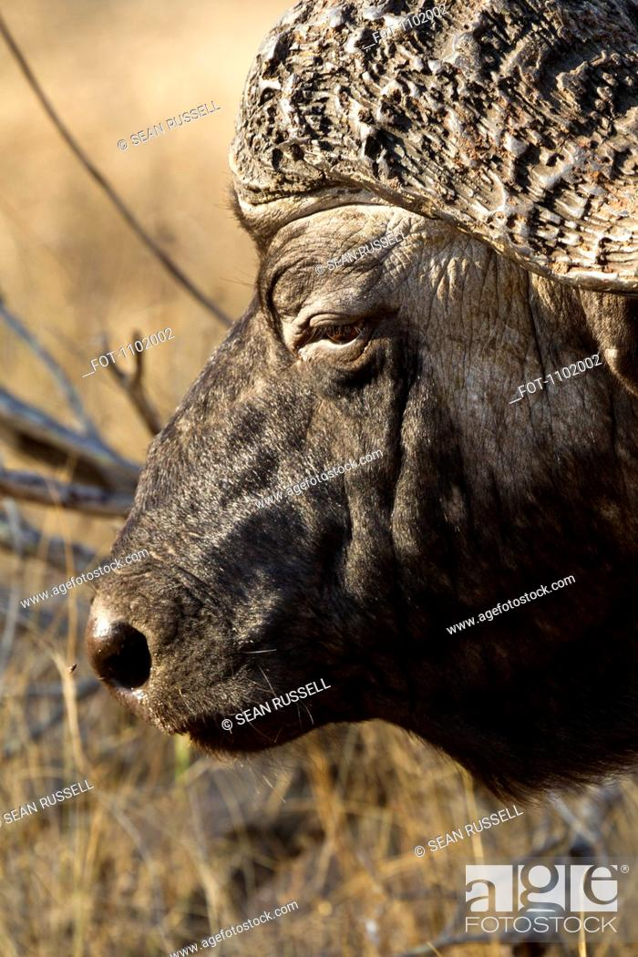 Stock Photo: An African Buffalo, close-up headshot.