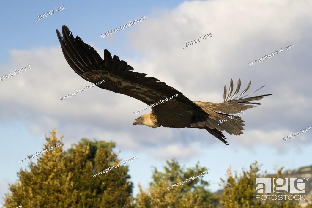 Imagen: Griffon Vulture (Gyps fulvus) taking off. Lleida province. Catalonia. Spain.