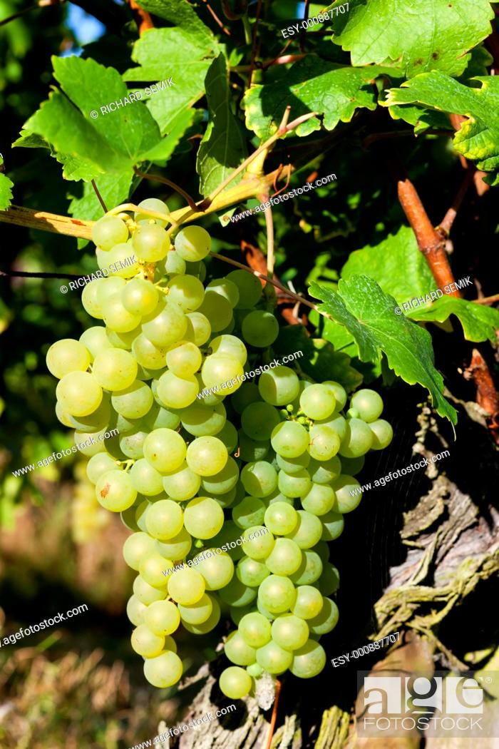 Stock Photo: grapevine in vineyard, Alsace, France.