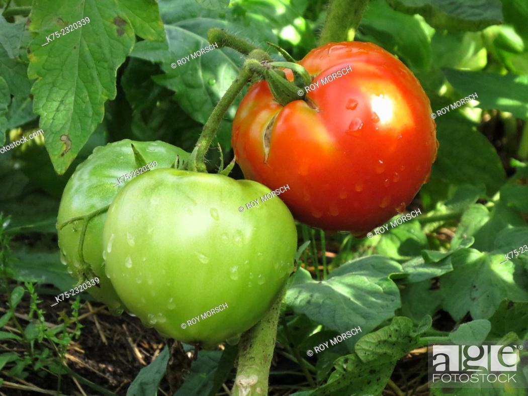 Stock Photo: ripe and non ripe tomatoes.