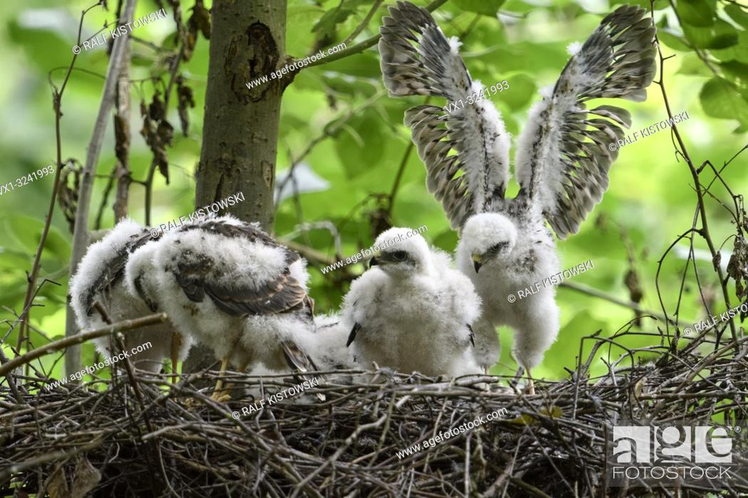 Stock Photo: Sparrowhawk ( Accipiter nisus ), moulting grown up chicks in nest, training their skills and strength, wildlife, Europe.
