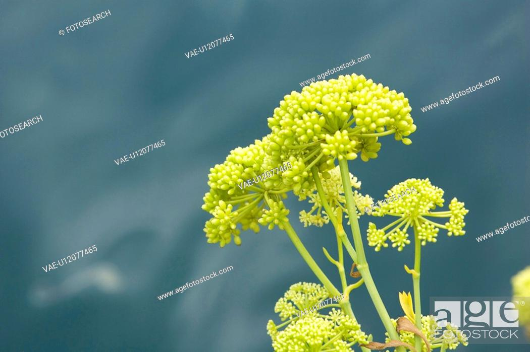 Stock Photo: Beauty, Blooms, Blossoms, Budding, Clusters.