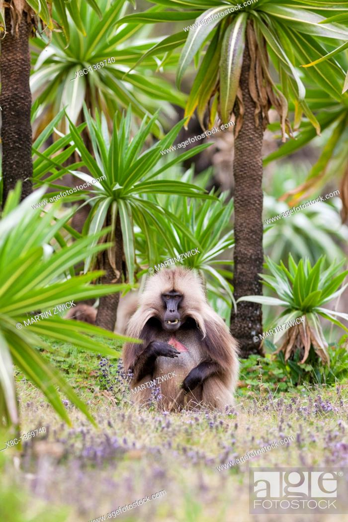 Stock Photo: Gelada, Gelada Baboon or Ethiopian Lion Theropithecus gelada in the Simien Mountains National Park in Ethiopia  Geladas are an endemic primate species living in.
