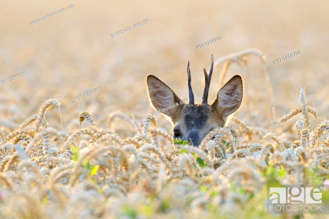 Stock Photo: Roe buck (Capreolus capreolus) in grain field, Summer, Germany, Europe.