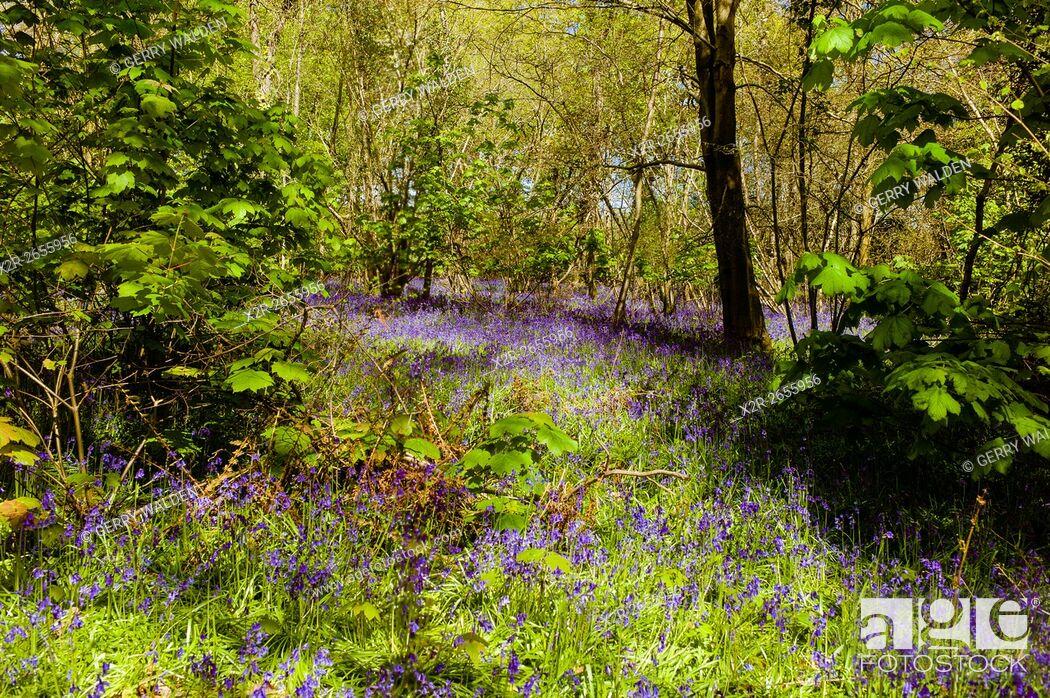 Stock Photo: Bluebell Woods, Hampshire, England.