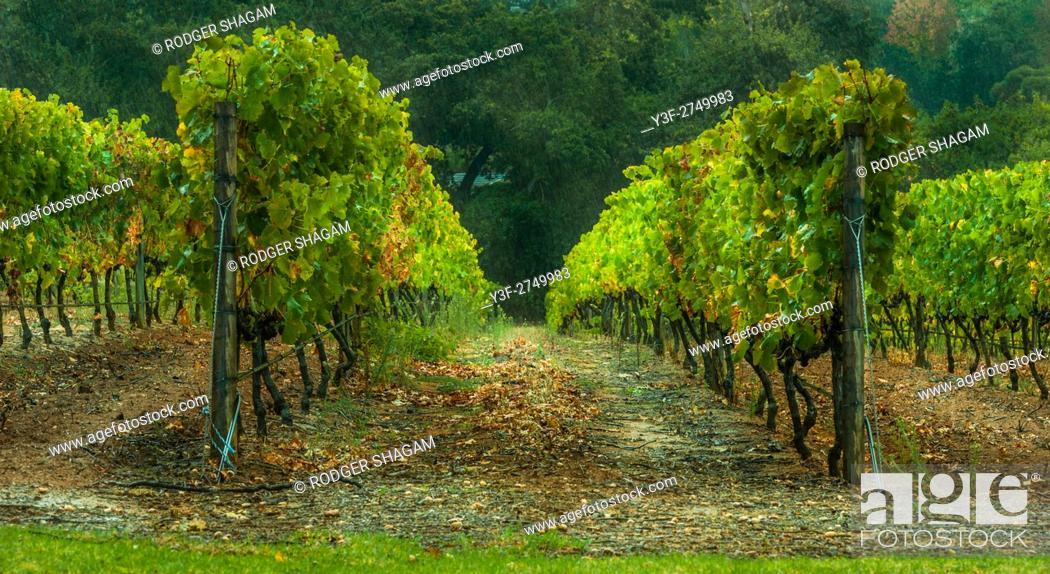 Stock Photo: Rows of grape vines in a vineyard. Constantia Valley, Cape Town, South Africa.