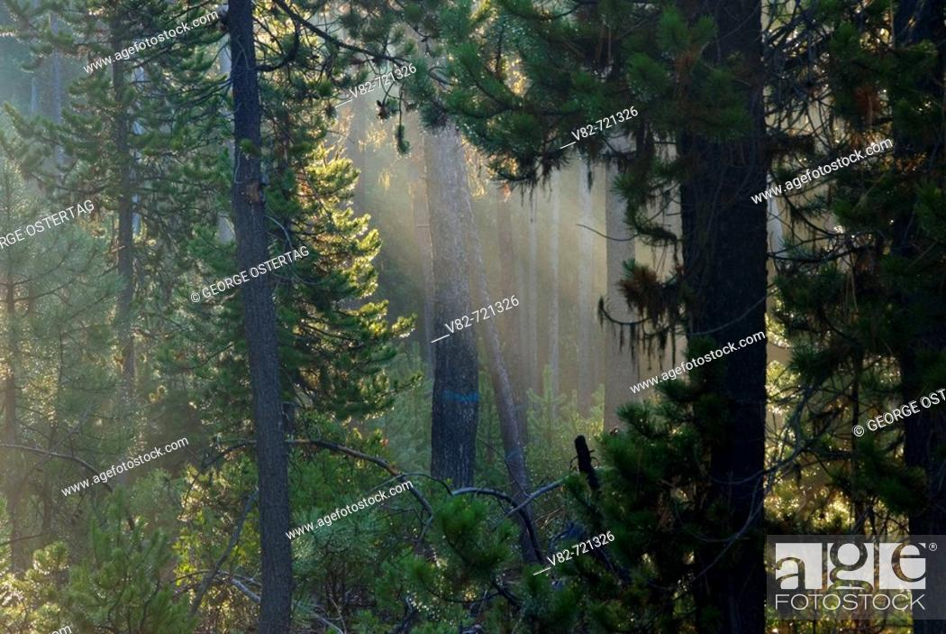 Stock Photo: Fog in lodgepole pine (Pinus contorta) forest, Deschutes National Forest, Oregon, USA.