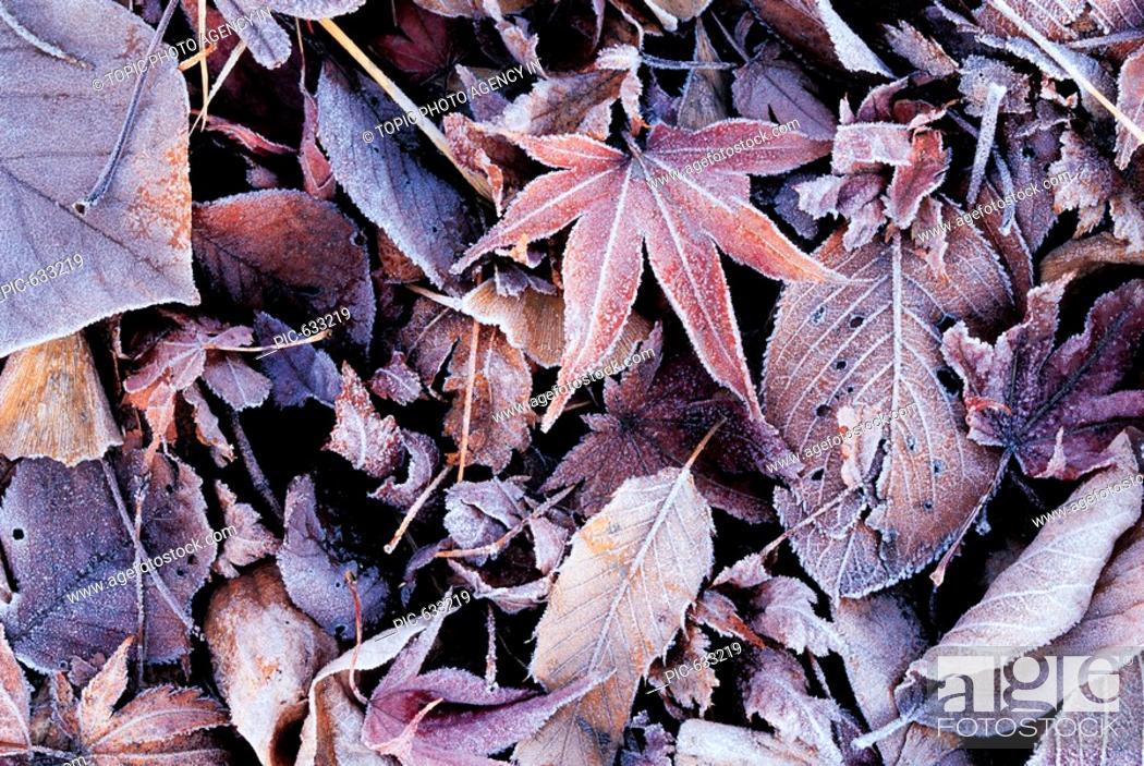 Stock Photo: Frost On Fallen Leaves,Korea.