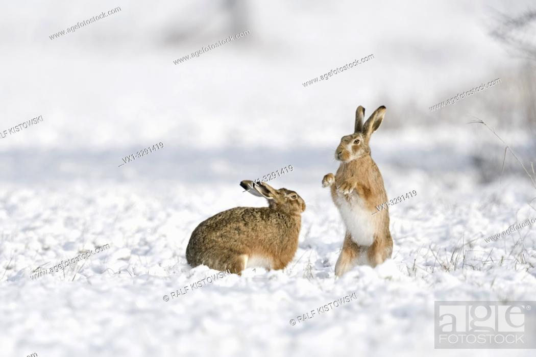 Stock Photo: Brown Hare / European Hares / Feldhasen ( Lepus europaeus ) in winter, two hares playing, fighting in snow, wildlife, Europe.