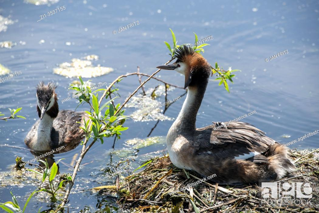 Stock Photo: grebe with newly born chickens at nest at ditch in Groene Hart, Holland.